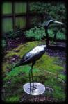 Great Blue Heron-1992