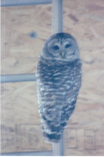 Barred Owl trapped in my shop