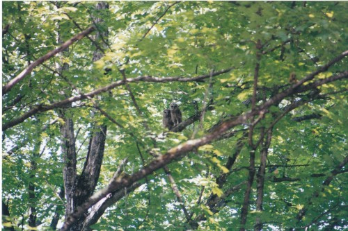 Mating Pair of Barred Owls next to my house